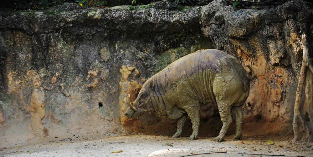 Babirusa - Singapore Zoo