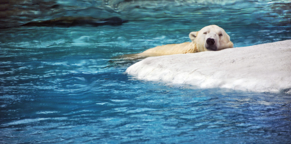 Polar Bear - Singapore Zoo