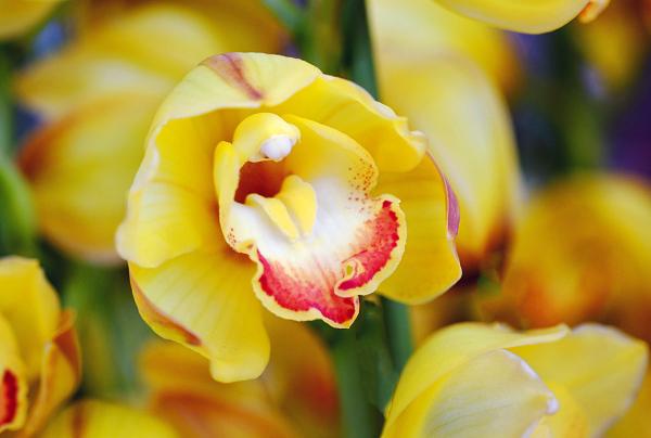 Orchid - Cymbidium