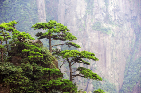 Pines of Huangshan #1