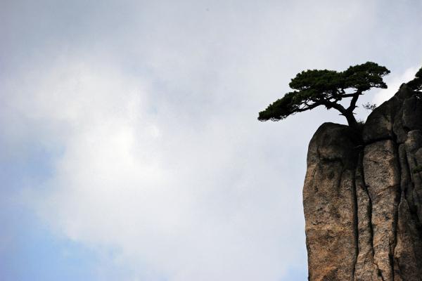 Pines of Huangshan #2