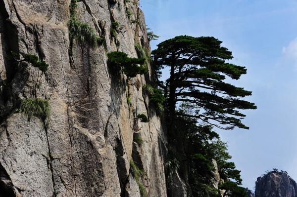 Pines of Huangshan #4