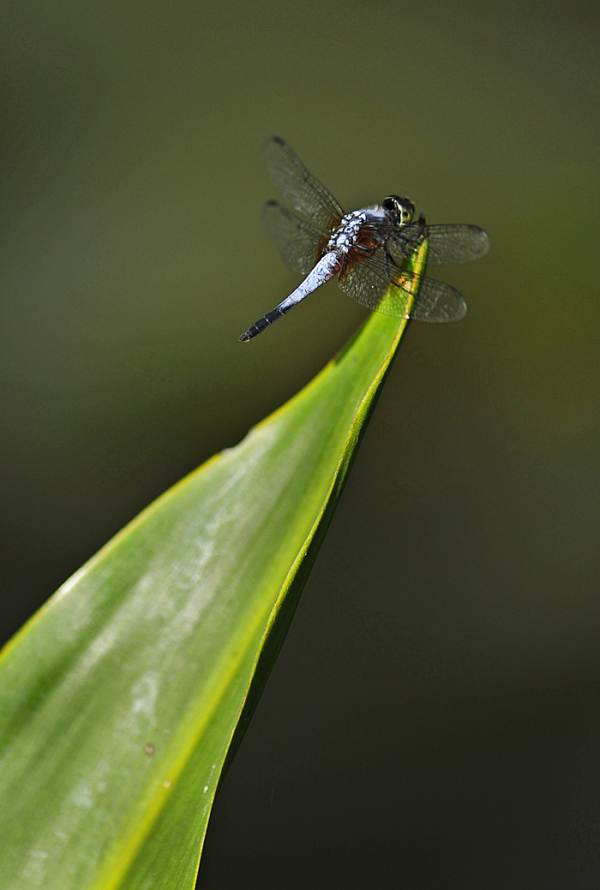 Dragonfly #3