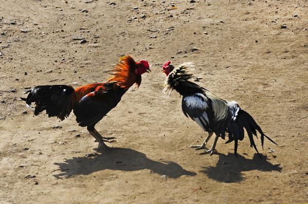 Cockfight - Confrontation