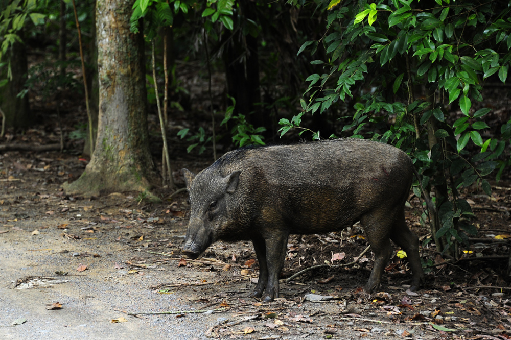 A Wild Boar on Ubin Island
