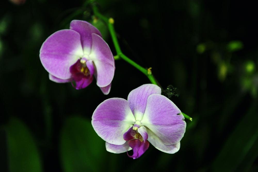 Phalaenopsis Sogo Davis