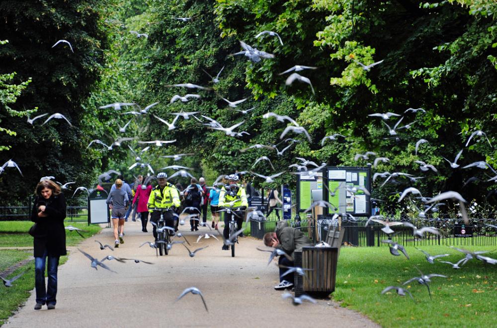 Flight of Pigeons at Kensington Park, London