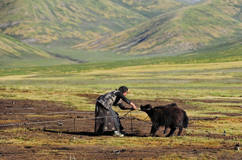 Tending Yak, Tibet
