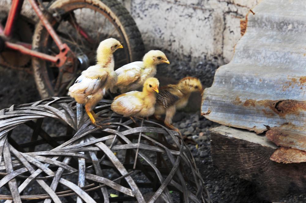 Chicks on a Basket