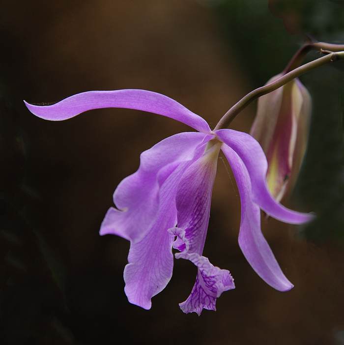 Orchid - Cattleya Maxima