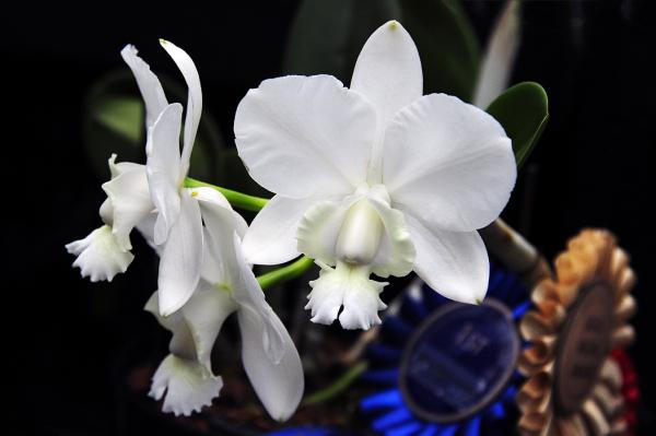 Prize Winning Orchid - Cattleya x dolosa