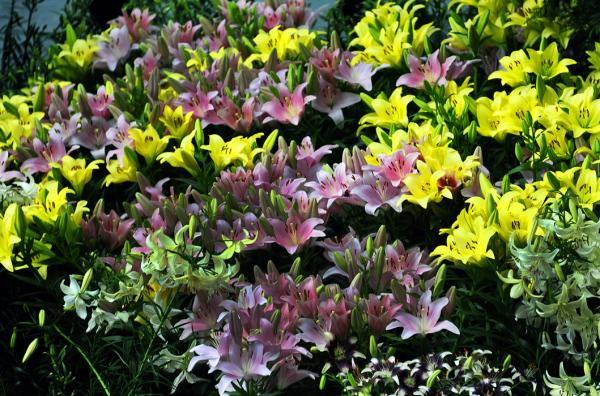 Lilytopia