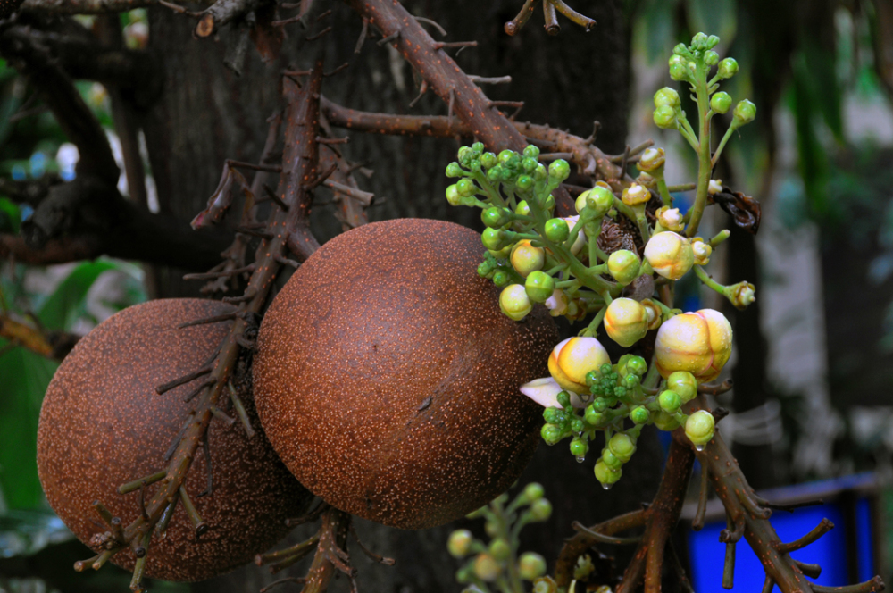 Fruit of Cannon Ball Tree