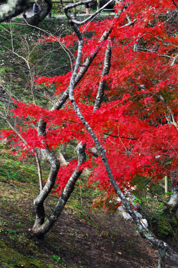 Red Maple Tree