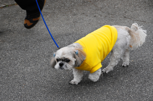 Dog in Yellow Jacket