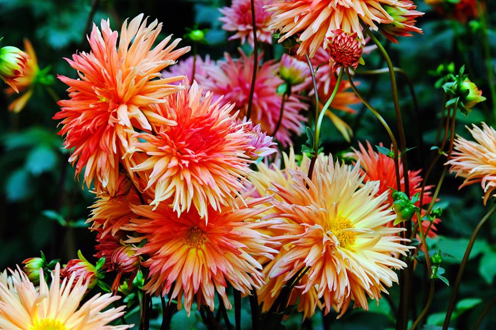 Dahlia Blooms