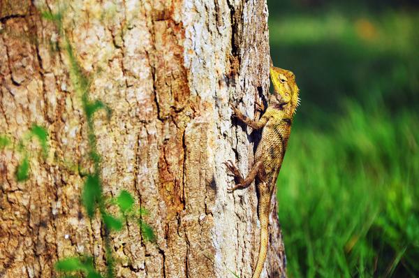 Monitor lizard.