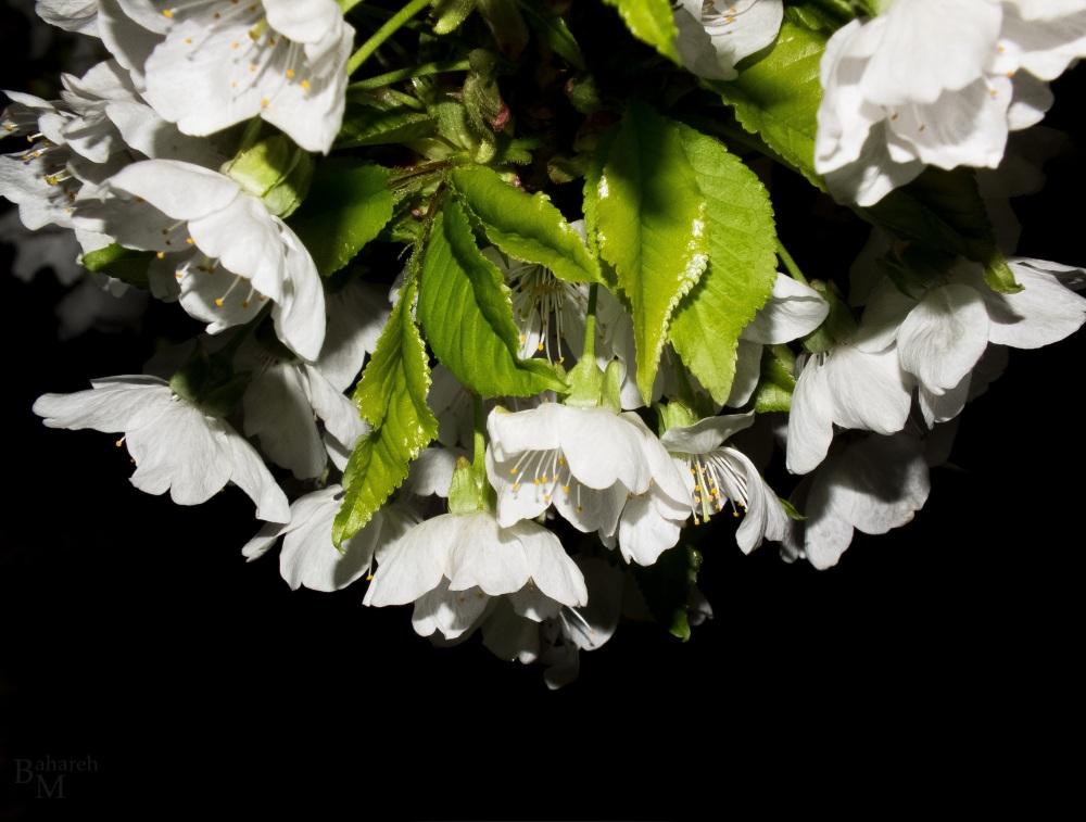 White Crown