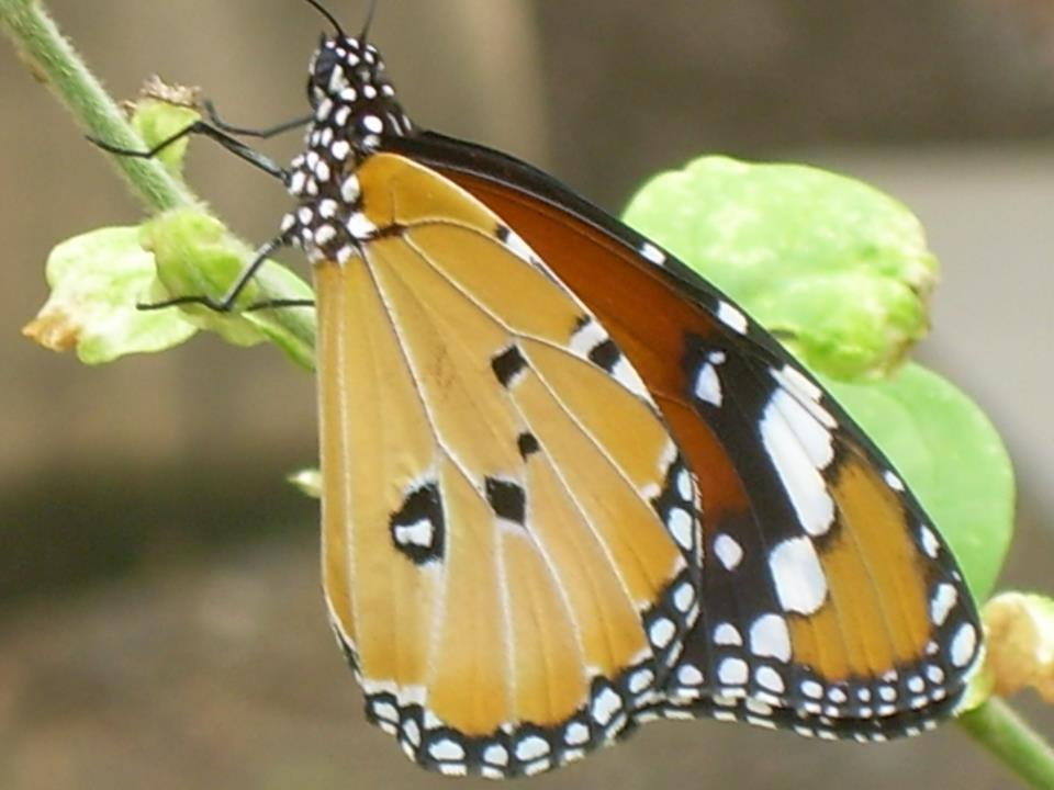 Butterfly, Chennai, India