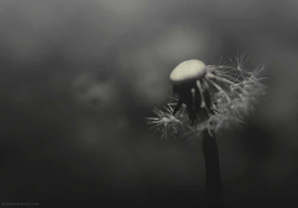 On the Wings of a dandelion