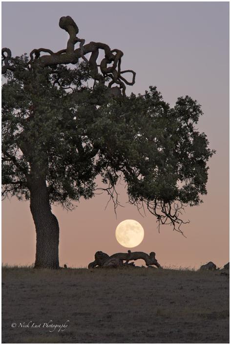 moon rise rural twilight oak tree blue moon