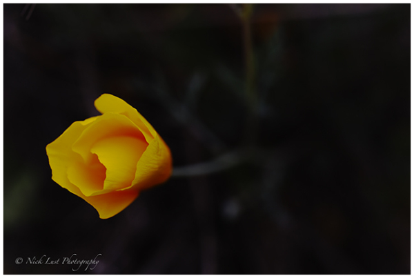 california golden poppy, pinnacles national park