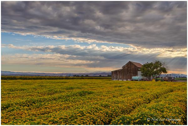 God' beams, sunflowers, sunset, san benito county,