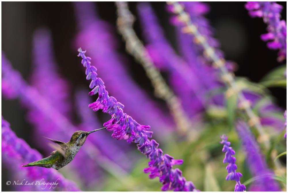 humming bird, flight, eating, nectar
