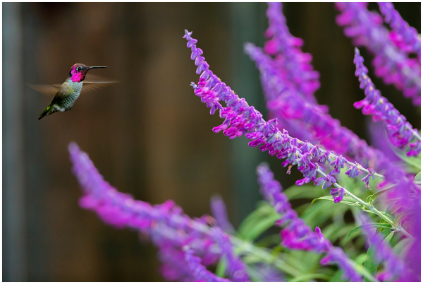 humming bird, flight, eating, nectar