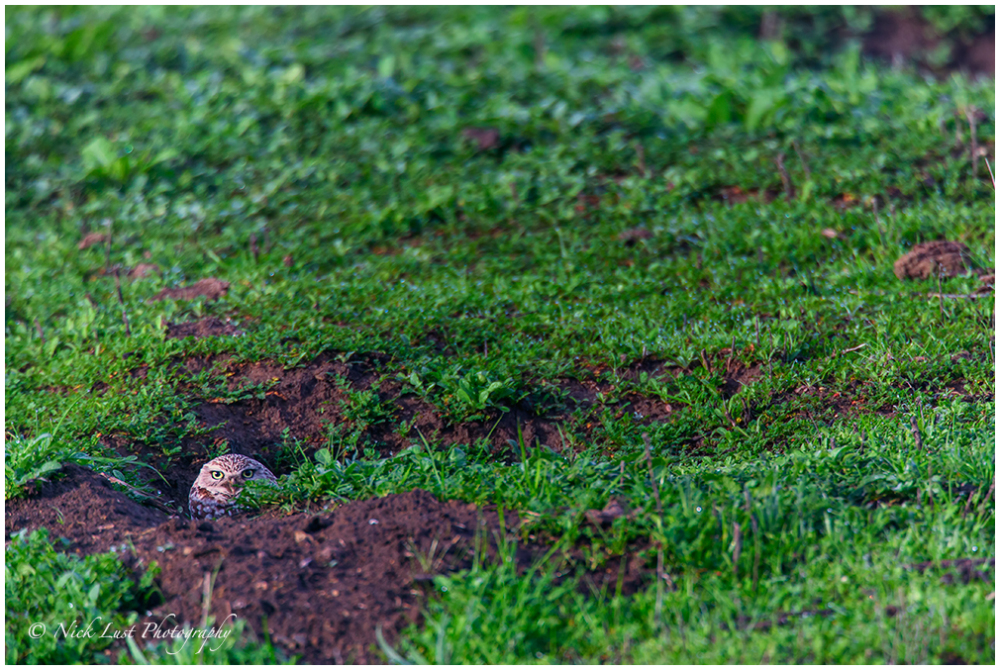 burrowing owl, san benito, california