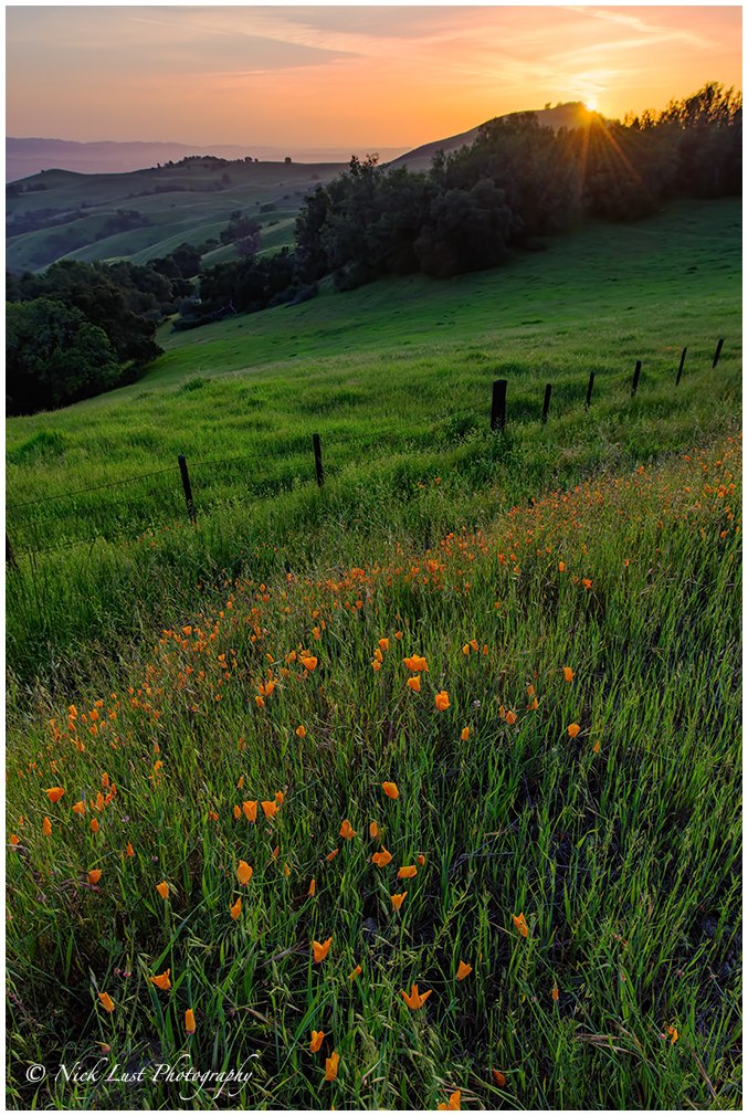 california poppies, sunstar, sunburst, south santa