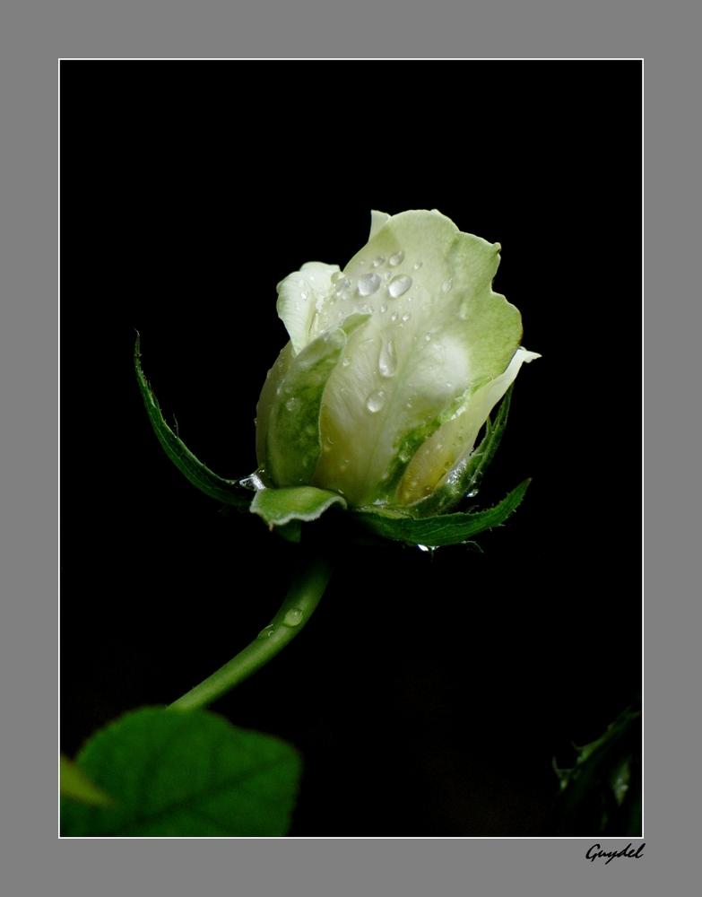 bouton de rose après la pluie