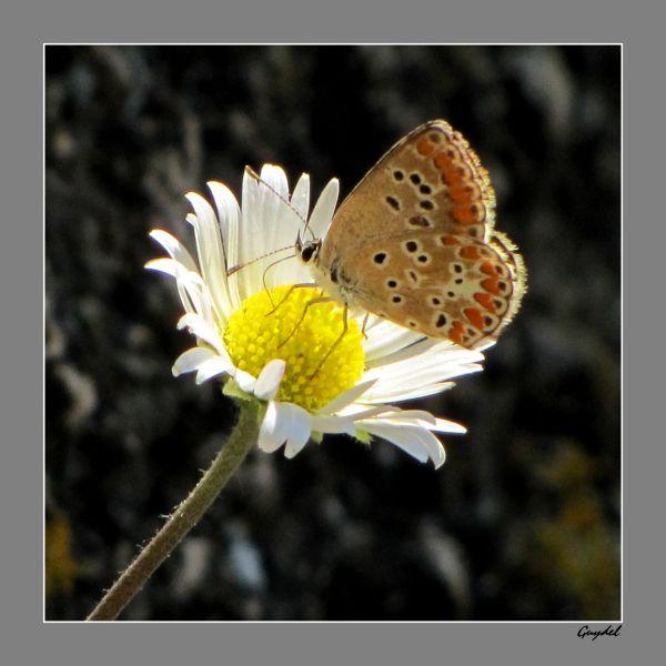papillon sur une pâquerette