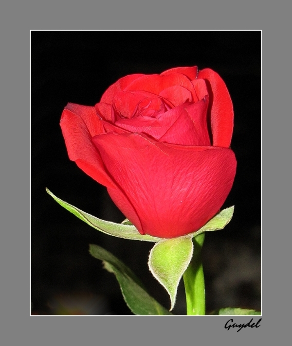 bouton de rose rouge