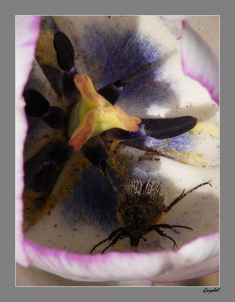Le Charençon et la Tulipe