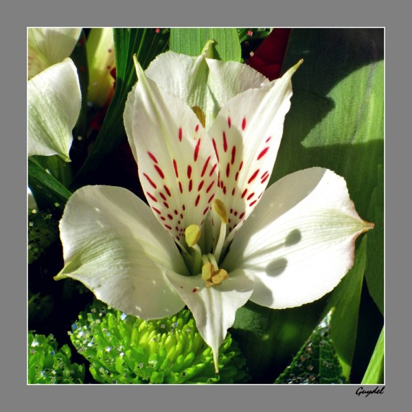 Alstroemeria Blanc