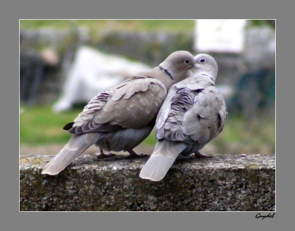 Deux pigeons s'aimaient d'amour tendre .....