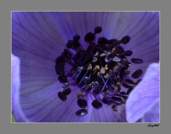 étamines anémone bleue