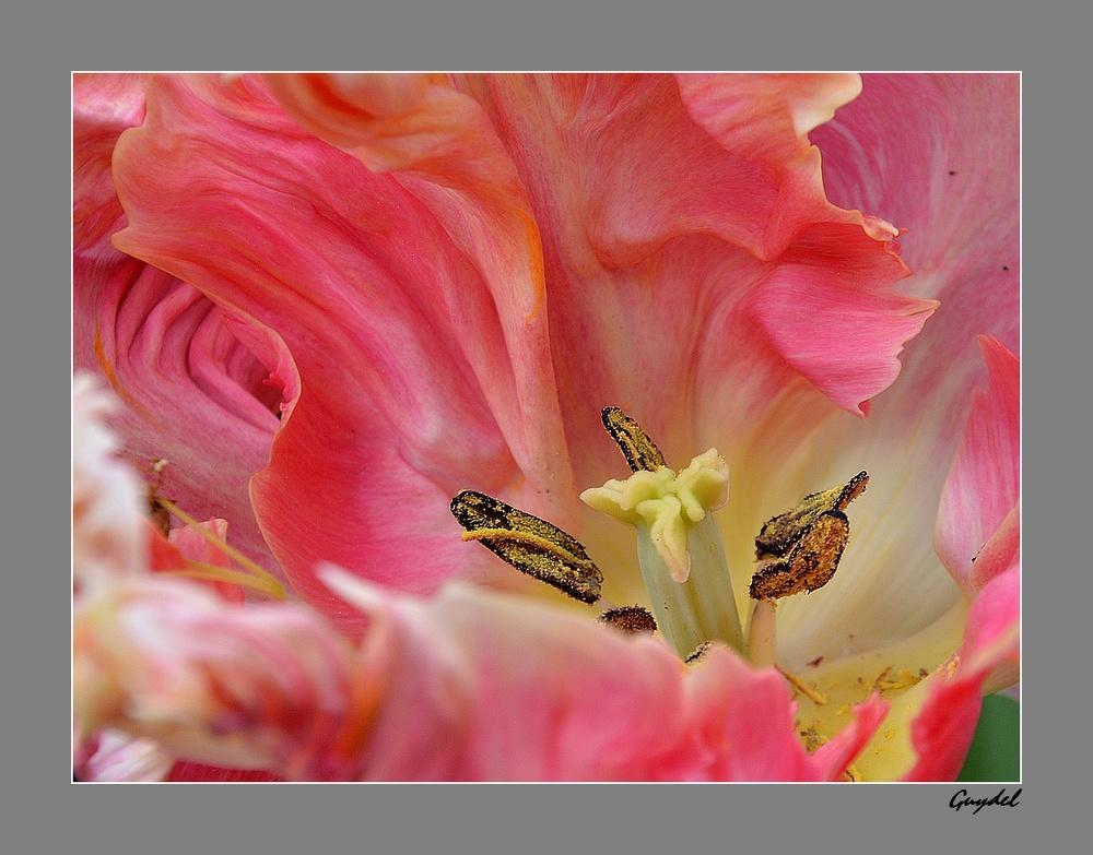Au Coeur de la Tulipe Rose