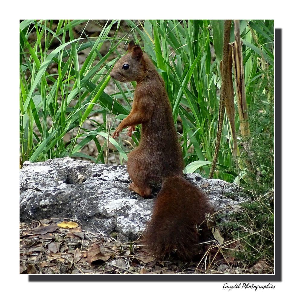 L'écureuil aux aguets