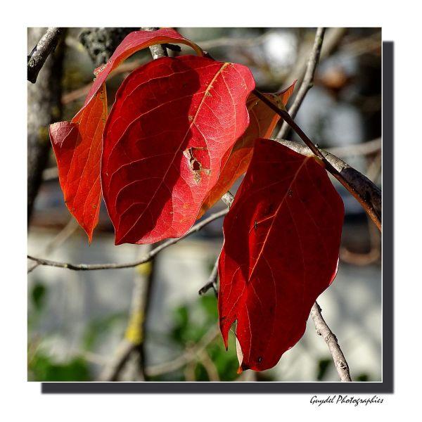 Dernières feuilles du plaqueminier