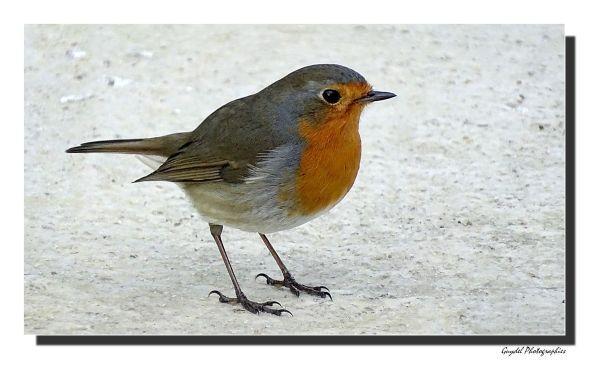 "Mon ami ""Robin"""