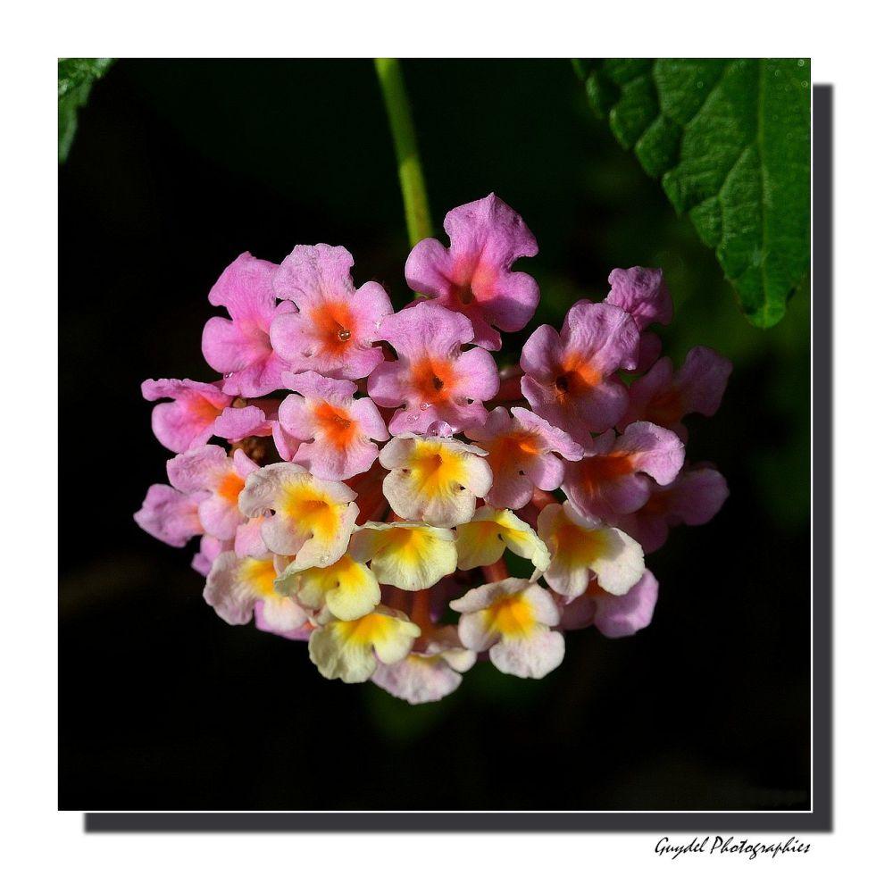 Fleur de Lantana