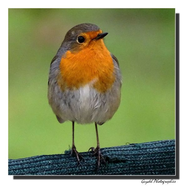 Robin le Rouge-Gorge