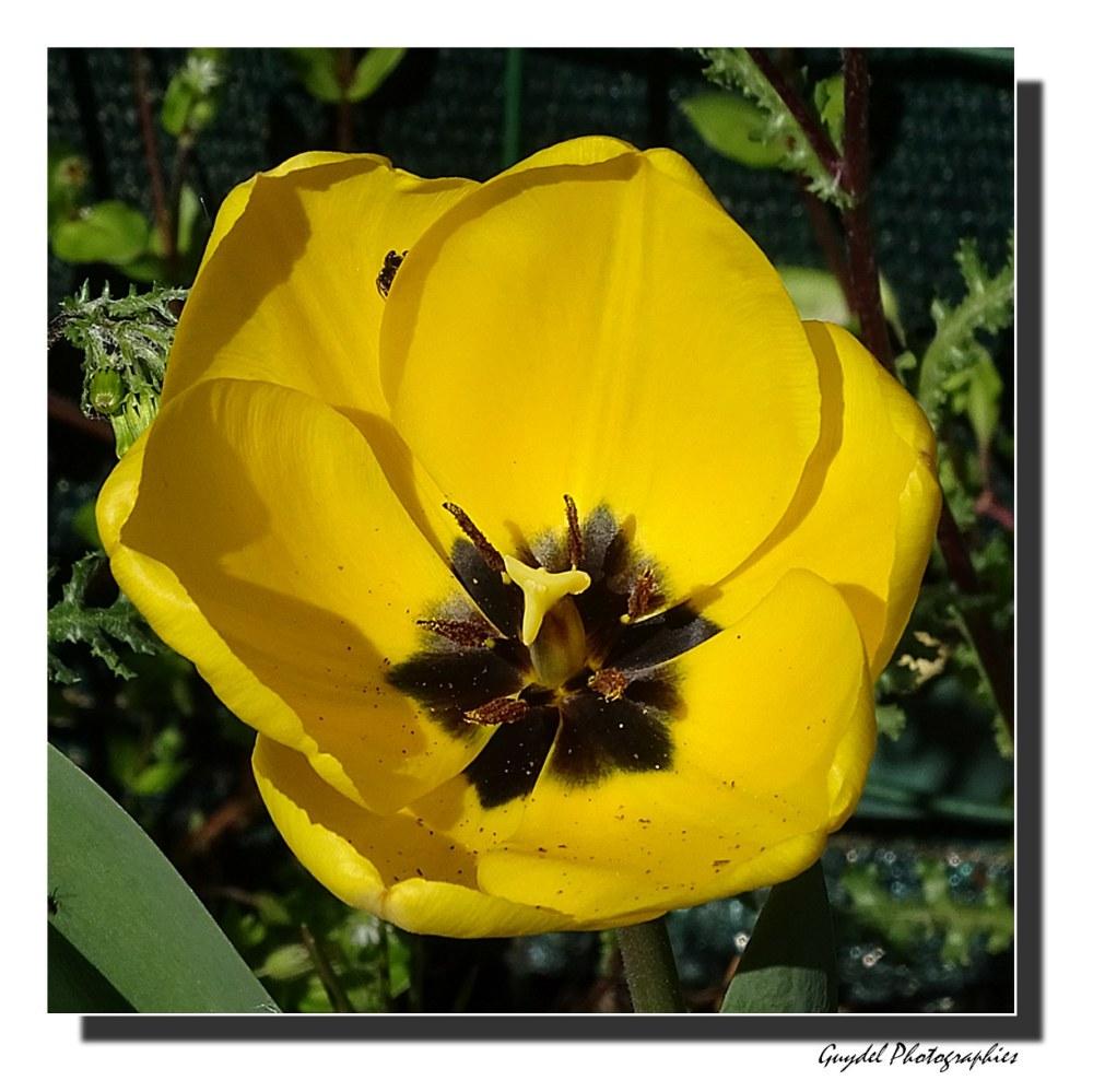 Une Tulipe Jaune