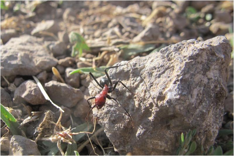 مورچه قرمز