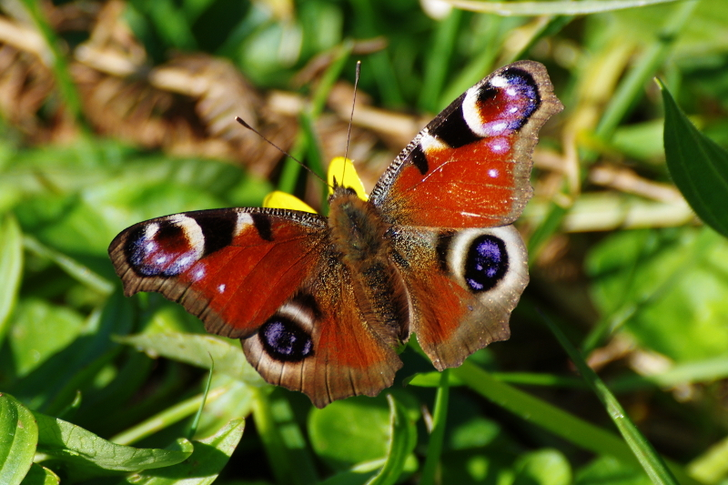 Paon du Jour ./. Peacock Butterfly .