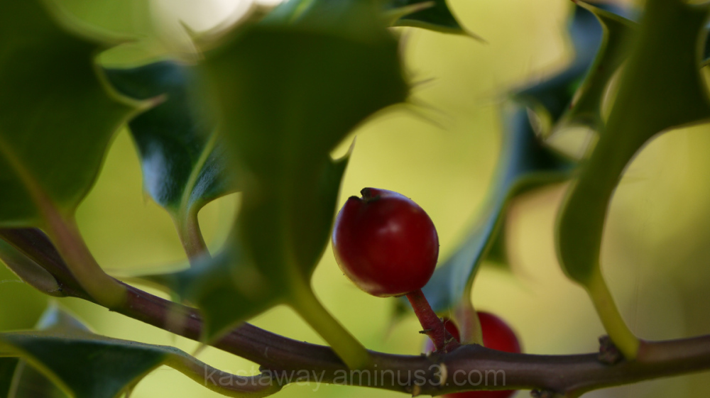 holly tree berry red green