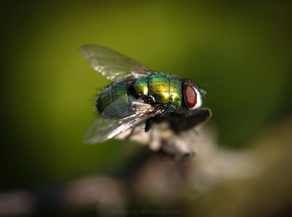 A green fly ( not to be confused with Greenfly )