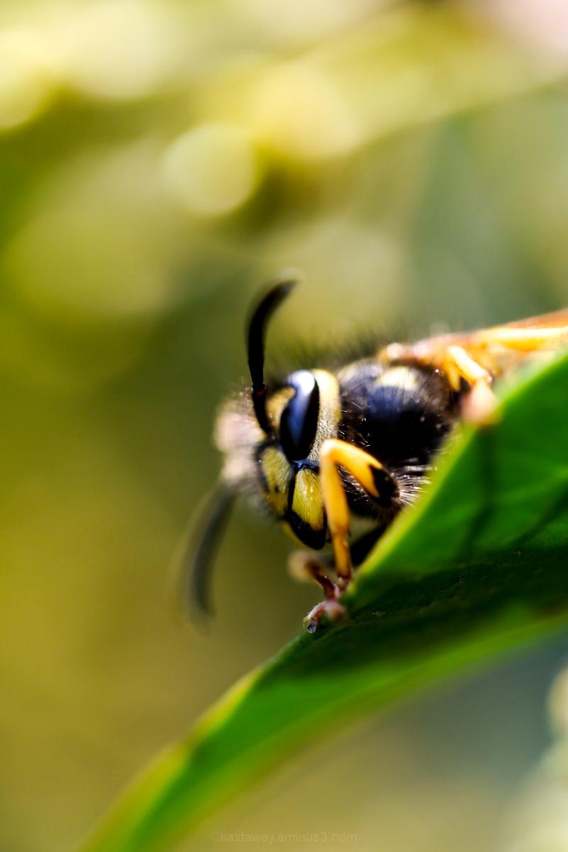 Wasp 2/3